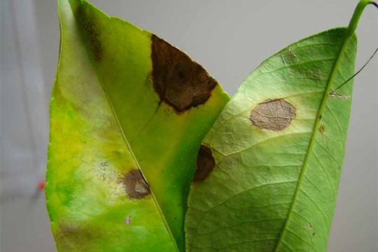 Some Citrus Diseases and Pests | Weather and Citrus